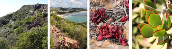 Robberg Nature Reserve (L), Crassula atropurpurea in habitat (LC) and plants (RC), and Kalanchoe orbiculata (R).