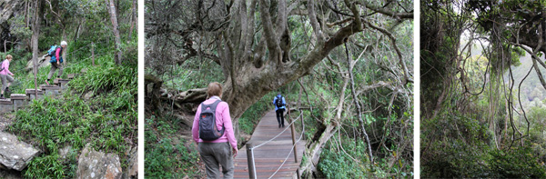 Understory of agapanthus (L); the boardwalk trail under tall trees (C), and lianas (R).