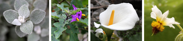 Helichrysum petiolare (L), a prickly solanum (LC), calla lily, Zantedeschia aethiopica (RC), and an interesting flower (R).