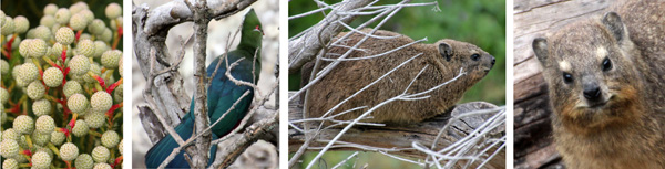 Flower buds of unknown plant (L); Kynsna turaco (LC); and cape hyrax or rock dassies (RC and R).