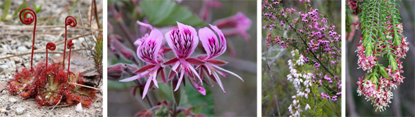 Sundews (L), pelargonium (LC), pink and white ericas (RC) and an unknown shrub flowering (R).