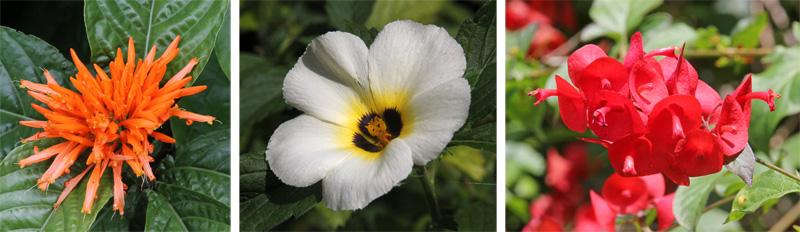 Justicia sp. (L), Turnera subulata (C), and Holmskioldia sanguinea (R).