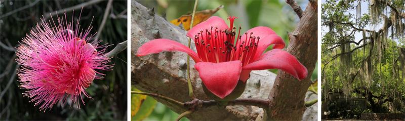 "Trees: Pseudobombax ellipticum (L), Bombax ceiba (C), and the bromeliad ""Spanish moss"", Tillandsia usneoides hanging in trees (R)."