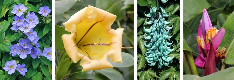 Vines: sky vine, Thunbergia grandiflora (L), Solandra grandiflora (LC), and jade vine, Strongylodon macrobotrys (RC). Ornamental banana, Musa ornata (R).