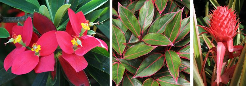 = Euphorbia punicea (L), Aglaonema sp. or hybrid (C), and variegated terrestrial bromeliad (R).