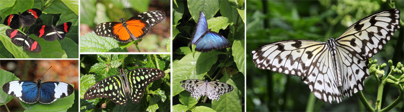 Butterflies in the Wings of the Tropics: 3 postman butterflies Heliconius melpomene (top L), cydno longwing, Heliconius cydno (bottom L), tiger longwing, Heliconius hecale (top LC), tailed jay, Graphium Agamemnon (bottom LC), blue morpho and paper kite in flight (RC), and paper kite, Idea leucone (R).