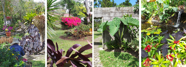 Views in the garden near one pond (L), bougainvillea in bloom (LC), giant elephant ears (RC), and another pond (R).