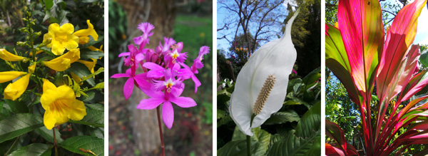 Flowers of Allamanda cathartica (L), Epidendrum orchid (LC), anthurium (RC), and colorful leaves of Cordyline fruticosa.
