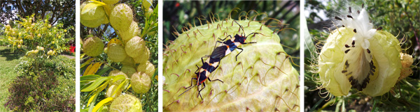 Gomphocarpus physocarpus in the garden (L), inflated seed pods (LC), milkweed bugs on seed pod (RC) and seed pod opening to release seeds (R).