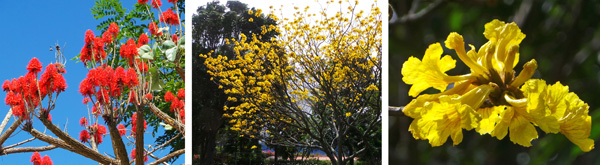 Flowering trees: Red erythrina (L), and Tabebuia ochracea (C and R).