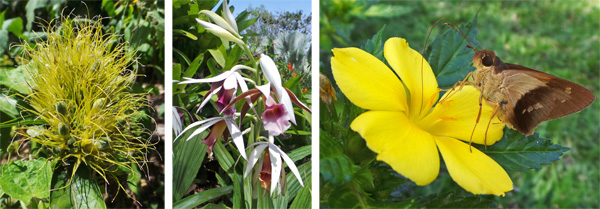 Flowers of golden plume, Schaueria flavicoma (L) and Phaius sp., a terrestrial orchid (C), and a skipper (Saliana sp.) feeding on a yellow flower (R).