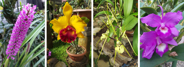 Arpophyllum spicatum (L), colorful Cattleya hybrid (LC), Brassia hybrid (RC), and the national flower of Costa Rica, the guaria morada, Guariantha skinnerii.