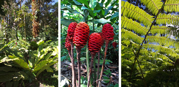The huge Anthurium  salvinii (L), shampoo ginger, Zingiber zerumbet, native to India (C), and under a tree fern (R).