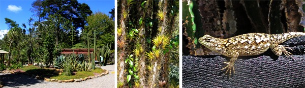 The cactus and succulent garden (L), a prickly Pereskia cactus with bromeliads on the trunk (C), a spined lizard (Sceloporus sp.) (R).