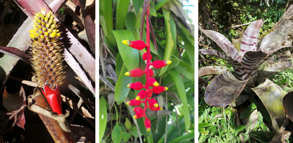 Various bromeliads