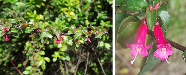 Fuchsia microphylla