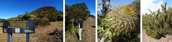 Trailhead in Tapanti National Park (L), Dave photographs the endemic thistle (LC), thistle head (RC), and dwarf bamboo Chusquea subtessellata (R).