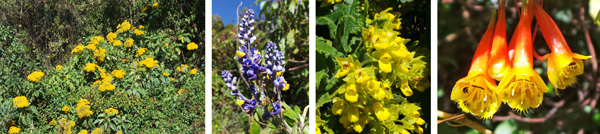 Senecio sp. blooming on roadside (L), purple flower (LC), calceolaria (RC) and tubular red and yellow flowers on a vine with cucumber-like leaves (R).