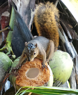 Coconut water drips off the head of a red-tailed squirrel that has chipped into a coconut to get to the edible interior.