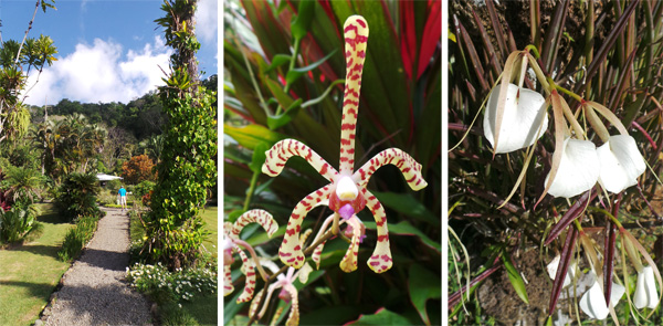 One of the main paths in the garden (L); Scorpion orchid (horticultural type) (C); Brassavola nodosa, a fragrant orchid (R).