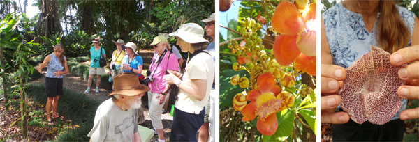 Trudy tells the group about vanilla (L); flowers of cannonball tree, Couroupita guianensis (C); and Trudy holding open calico flower, a species of Aristsolochia.