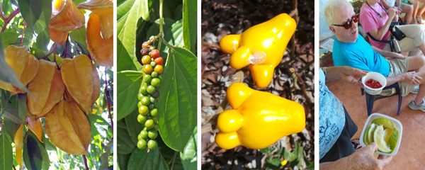 Star fruit, Averrhoa carambola(L); peppercorns, Piper nigrum (LC); poisonous fruits of Solanum mammosum, used medicinally for congestion (RC); and Trudy distributing lemons and miracle fruit (Synsepalum dulciferum) which changes the taste of anything from sour to sweet – which we got to test (and it does work) (R).