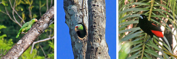 Red lored parrot walking up tree trunk (L) and in nest cavity (C). Male Cherrie's tanager (R).