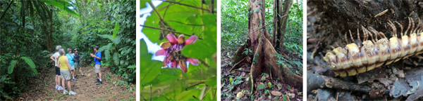Out on the rainforest trail (L); a blooming Passiflora high up in the canopy (LC); a buttressed tree trunk (RC); a large, flat millipede (R).