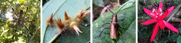Golden orb weaver spiders (small male and large female) (L); galls on a leaf (LC); a bronze-colored cerambycid beetle (RC); Passiflora coccinea (R).