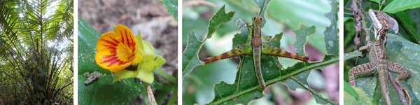 Raffia palm, with fronds up to 15 feet long (L); pretty flower (LC); a monkey grasshopper (Eumastax sp.), only half inch wide, with legs spread out perpendicular to the body (RC); a male brown basalisk (R).