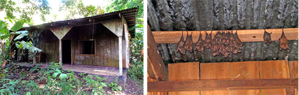 Abandoned farmhouse (L) and bat colonies inside (R).