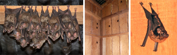 Cluster of longnosed bats (L), a group of another type of bat (C) and a lone one of those other bats (R).