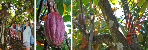 Standing under a cacao tree learning how the trees are grown (L); a cacao pod (C); long-handled saw and basket for harvesting cacao pods high in the trees (R).