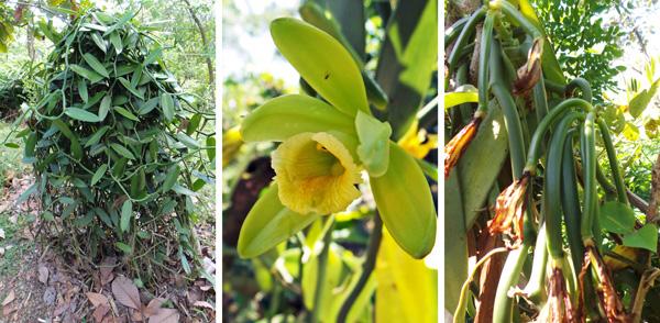Vanilla planifolia vine (L), flower (C), and immature seed pods (R).