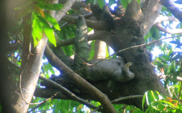 A three-toed sloth laying upside down on a tree branch.