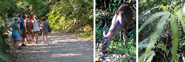 White tailed deer browses unconcerned as people walk by (L and C); climbing fern Lygodium venusta (R).
