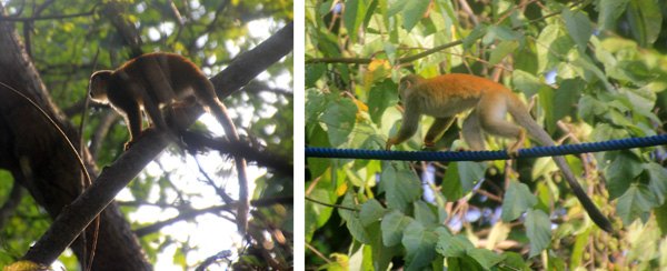 Squirrel monkeys.