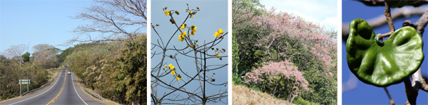 Driving through dry tropical forest (L); a buttercup tree, Cochlospermum vitifolium (LC); pink shower tree, Cassia grandis (RC); seed pod of Guanacaste tree, Enterolobium cyclocarpum (R).