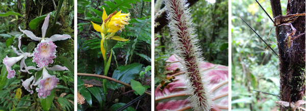 Trichophilia suavis orchid (L); terrestrial orchid (LC); fuzzy petiole of Philodendron malesevichiae(RC); spines on trunk of the palm Bactris dianeura.