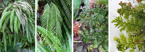 The sterile (L) and fertile (LC) fronds of an epiphytic fern. A filmy fern (RC) and with white behind to show translucence of the fronds (R).