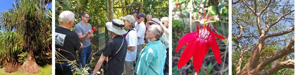 Ponytail palm or elephant foot palm, which is not a true palm (L); the group listens to local guide Randall (LC) tell about Passiflora vitifolia (RC); and looking up a guava tree (R).