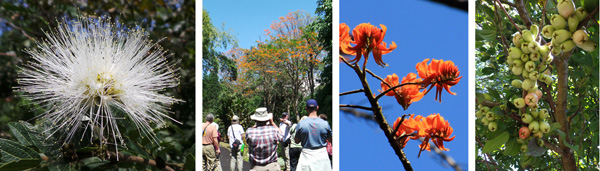 Calliandra haematocephala 'Alba' (L); the group taking pictures of the poró tree (LC) and close up of the flowers of the poró tree, Erythrina poepiggiana (RC); and water apple fruits (R).