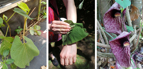 Velvety leaf of Piper auritum (L) and Kari rubbing a leaf to repel insects on her arms (C); and flowers of Aristolochia gigantea (R).
