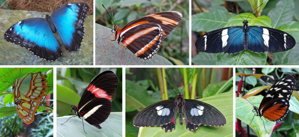 p row (L-R): blue morpho, banded orange underside (Dryadula phaetusa), and Heliconius sara. Bottom row (L-R): Malachite, postman (Heliconius erato petiverana), cattleheart butterfly, Parides sp, and Hecale longwing (Heliconius hecale).