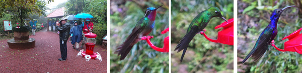 Ian takes pictures while Sherry and Dave walk through the hummingbird garden (L); male purple-throated mountain gem (LC); male green crowned brilliant (RC); and violet sabrewing (R).