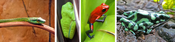 Giant parrotsnake (L), sleeping red-eyed leaf frog (LC), strawberry poison dart frog (RC), and black and green poison dart frog (R).