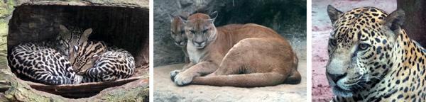 Ocelots (L), pumas (C), and jaguar (R).