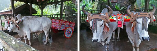 Pair of oxen with traditional painted oxcart.