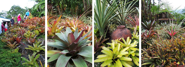 The group walks the stairs up the slope (L) that is covered with a fabulous array of bromeliads (LC, RC, R).