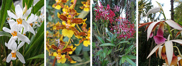 A selection of epiphytic (L and LC) and terrestrial (RC and R) orchids growing outside in the garden.